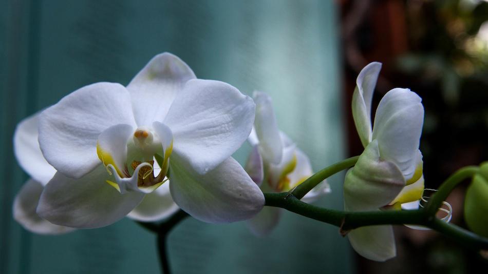 orchid-big